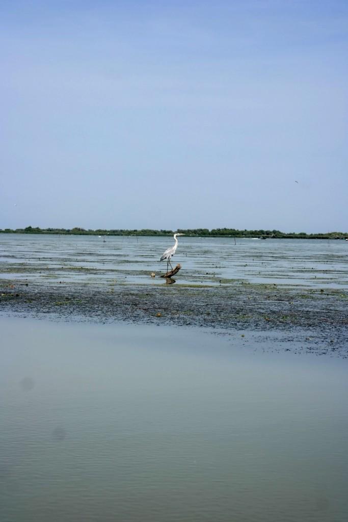 Cocostarc, Delta Dunarii
