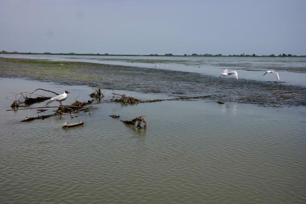 Pasari, Delta Dunarii