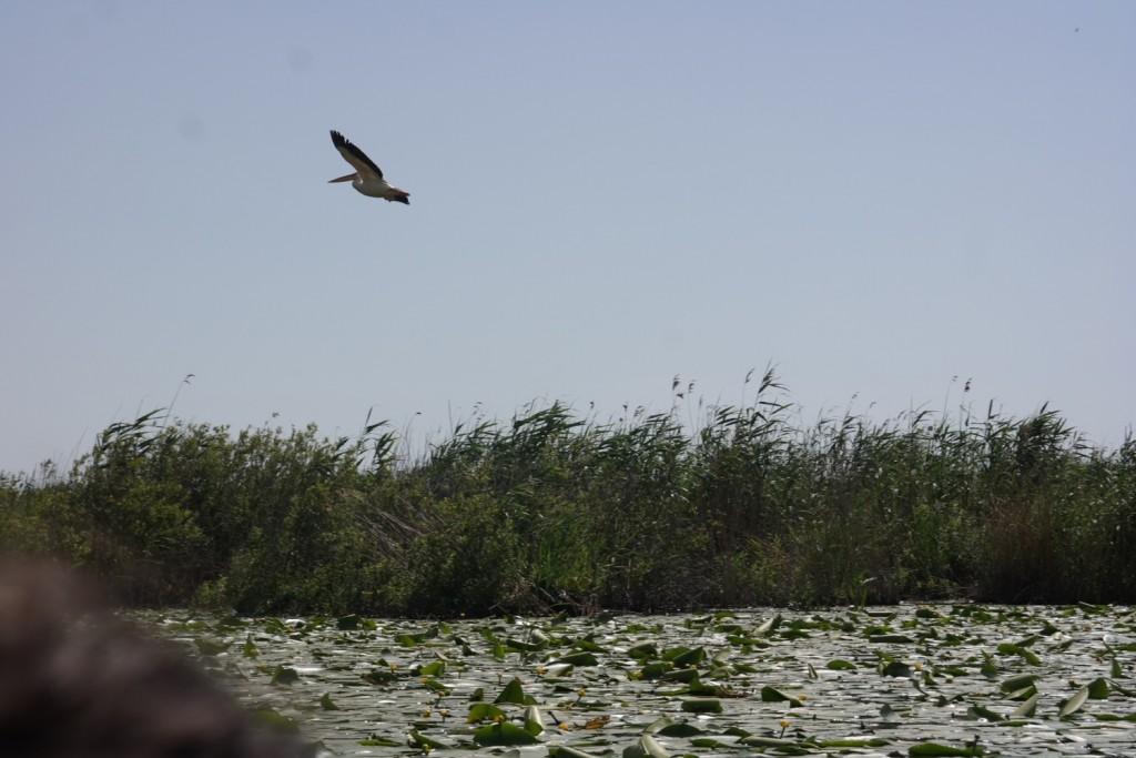 Pelican in zbor, Delta Dunarii